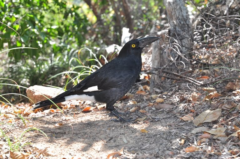 pied-currawong-30
