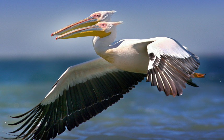 2 headed pelican